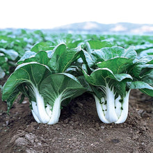 "Load image into Gallery viewer, Bok Choy Plant 4.5"" Pot"
