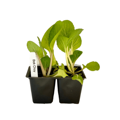 Bok Choy 4 Plant Cell Pack