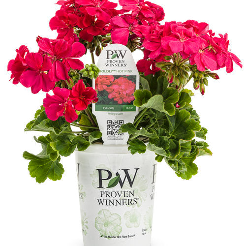 Proven Winners - Geranium - Boldly Hot Pink