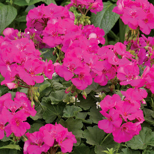 Proven Winners - Geranium - Boldly Lavender Rose