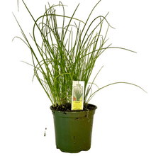 "Load image into Gallery viewer, Chives Plant 4.5"" Pot"