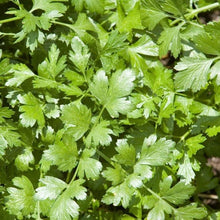 "Load image into Gallery viewer, Cilantro Plant 4.5"" Pot"
