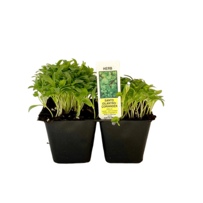 Cilantro 4 Plant Cell Pack