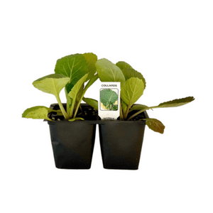 Collards 4 Plant Cell Pack