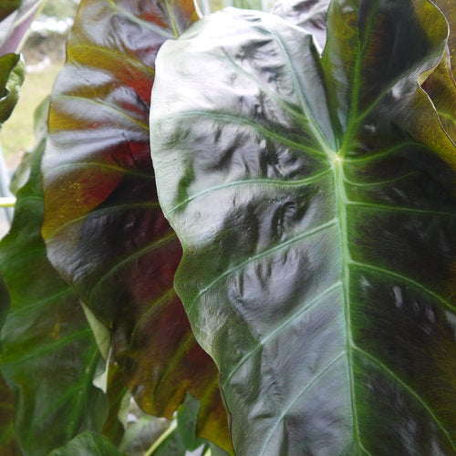 Proven Winners - Colocasia Elephant Ear - Royal Hawaiian Aloha
