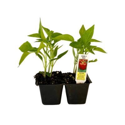 Early Red Pepper 4 Plant Cell Pack