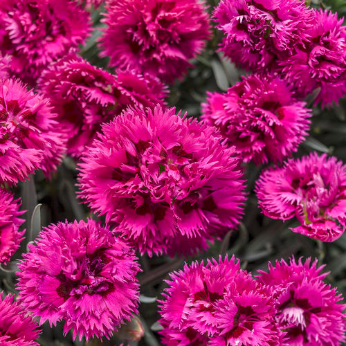 Proven Winners - Dianthus - Fruit Punch Spiked Punch