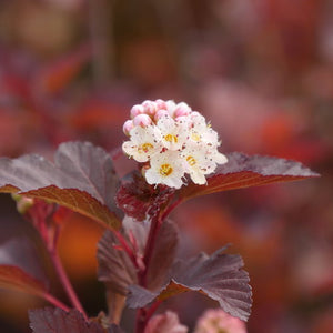 Proven Winners - Physocarpus - Ginger Wine
