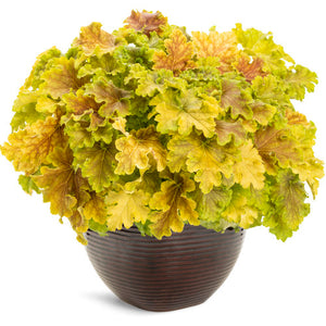 Proven Winners - Heuchera - Dolce Apple Twist