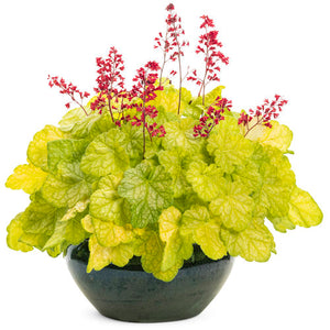 Proven Winners - Heuchera - Dolce Appletini
