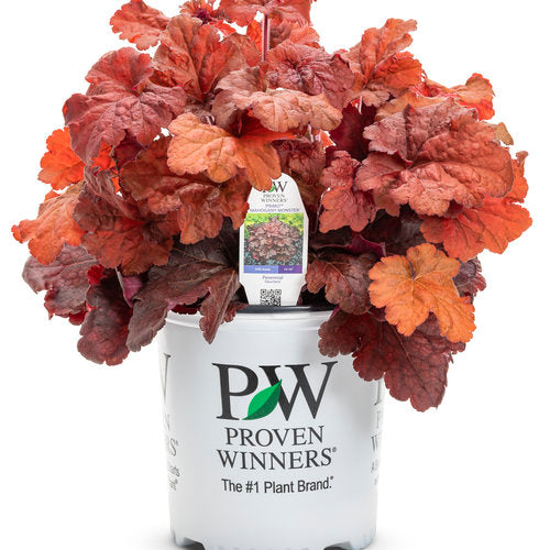 Proven Winners - Heuchera - Primo Mahogany Monster