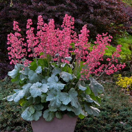 Proven Winners - Heuchera - Dolce Spearmint