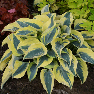 Proven Winners - Hosta - Shadowland Autumn Frost