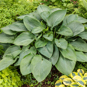 Proven Winners - Hosta - Shadowland 'Empress Wu'