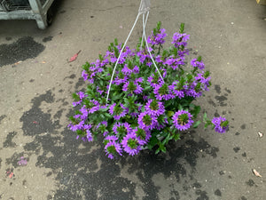 "10"" SCAEVOLA HANGING BASKETS (PURPLE)"
