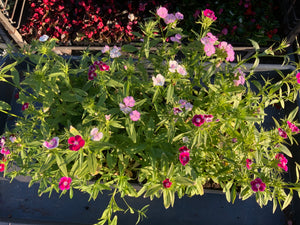 Flats - Dianthus - Wee Willie Mix