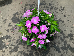 "8"" NEW GUINEA IMPATIENS HANGING BASKETS (PINK)"