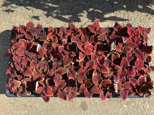 Flats - Coleus - Fairway Series