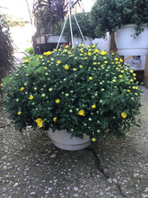 "Load image into Gallery viewer, 10"" Yellow Mum Hanging Basket"