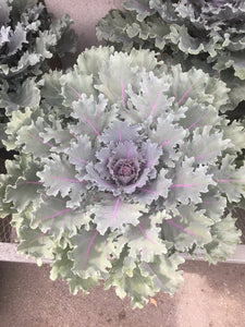 "8 "" Light Green and Purple Kale"