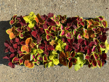 Load image into Gallery viewer, Flats - Coleus - Fairway Series