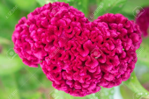 Hot Pink Celosia