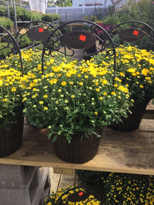 Yellow Mums Welcome Planter