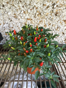 Ornamental Peppers- Oval Shaped