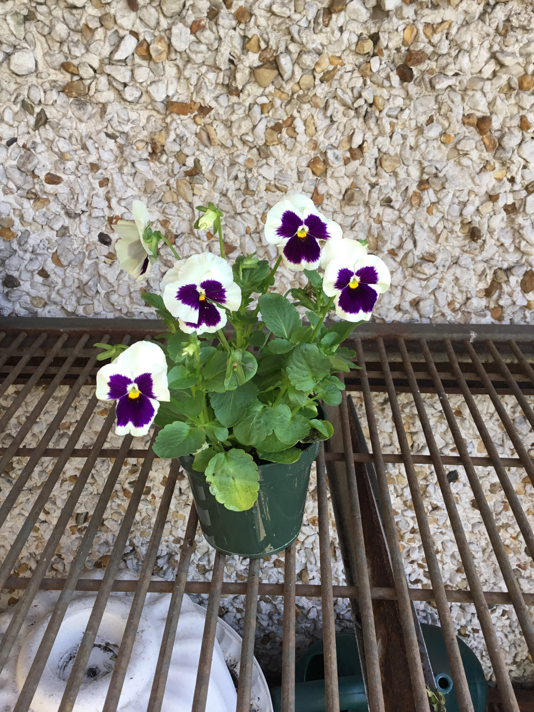 Pure White & Purple Pansies