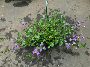 "8"" SCAEVOLA HANGING BASKETS (PURPLE)"