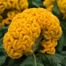 Load image into Gallery viewer, Yellow Celosia