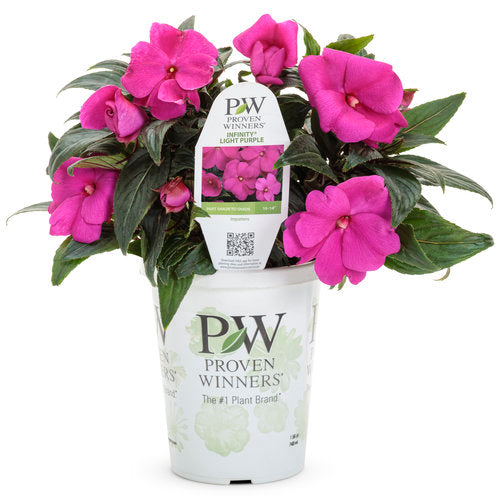 Proven Winners - New Guinea Impatiens - Infinity Light Purple