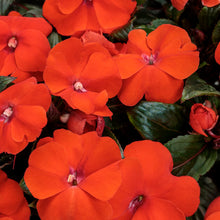 Load image into Gallery viewer, Proven Winners - New Guinea Impatiens - Infinity Orange