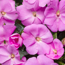 Load image into Gallery viewer, Proven Winners - New Guinea Impatiens - Infinity Lavender
