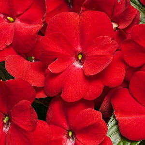 Proven Winners - New Guinea Impatiens - Infinity Red