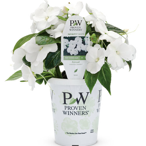 Proven Winners - New Guinea Impatiens - Infinity White