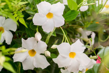 Load image into Gallery viewer, Mandevilla - White