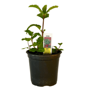 "Spearmint Plant 4.5"" Pot"