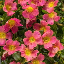 Load image into Gallery viewer, Proven Winners - Portulaca - Mojave Pink