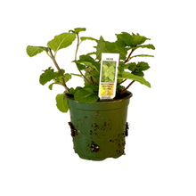 "Load image into Gallery viewer, Mojito Mint Plant 4.5"" Pot"