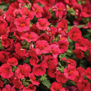 Proven Winners - Nemesia - Sunsatia Cranberry Red