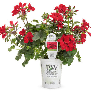 Proven Winners - Geranium - Timeless Fire