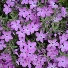 Load image into Gallery viewer, Proven Winners - Phlox - 'Rose Sprite'