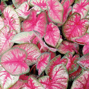 Proven Winners - Caladium - Heart to Heart Radiance