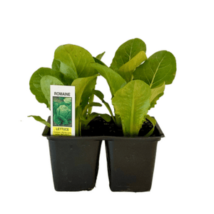 Romaine Lettuce 4 Plant Cell Pack