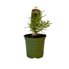 "Load image into Gallery viewer, Rosemary Plant 4.5"" Pot"