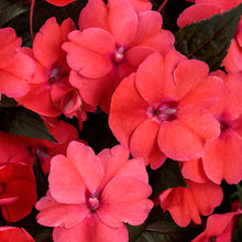 Load image into Gallery viewer, Proven Winners - SunPatiens - Compact Deep Rose