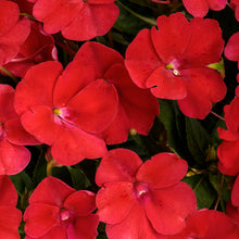 Load image into Gallery viewer, Proven Winners - SunPatiens - Compact Fire Red