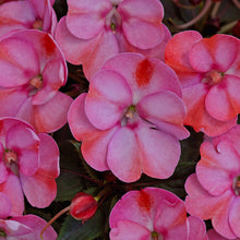Load image into Gallery viewer, Proven Winners - SunPatiens - Compact Pink Candy
