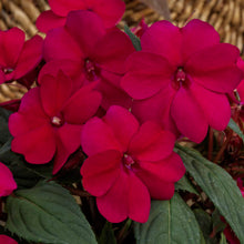 Load image into Gallery viewer, Proven Winners - SunPatiens - Compact Royal Magenta